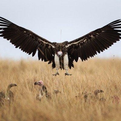 נשר בשמורת המסאי מארה בקניה - צילום: יואל שליין
