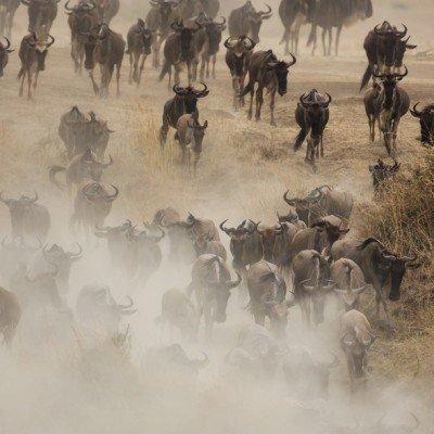 הנדידה הגדולה בקניה - צילום: יואל שליין