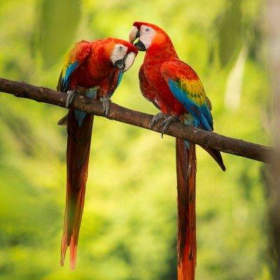 ארות אדומות בקוסטה ריקה - צילום: ג'פרי מניוז