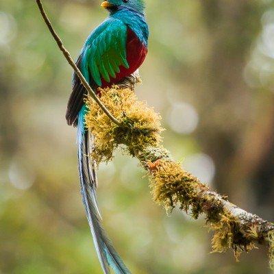 קצאל הציפור הקדושה של המאיה - צילום: ג'פרי מניוז