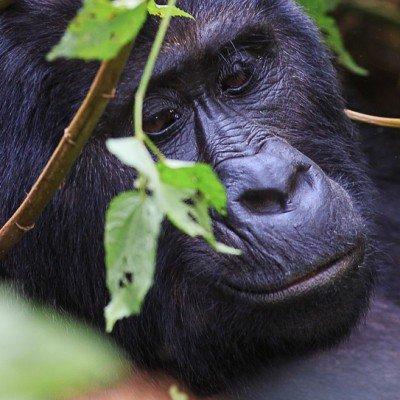 גורילות הרים בשמורת בווינדי, אוגנדה - צילום: יואל שליין