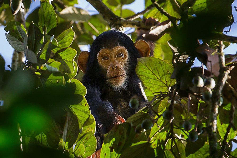 שימפנזה צעירה באוגנדה - צילום: יואל שליין