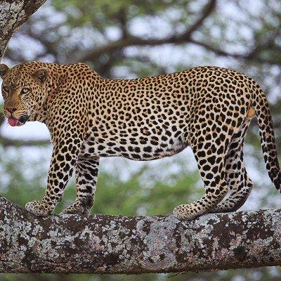 נמר בסרנגטי בטנזניה - צילום: יואל שליין