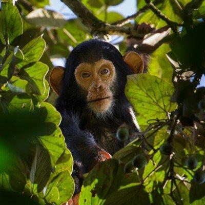 שימפנזים באוגנדה - Wild Travel, צילום: יואל שליין