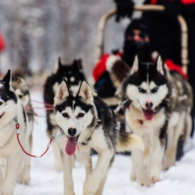 כלבי האסקי בלפלנד