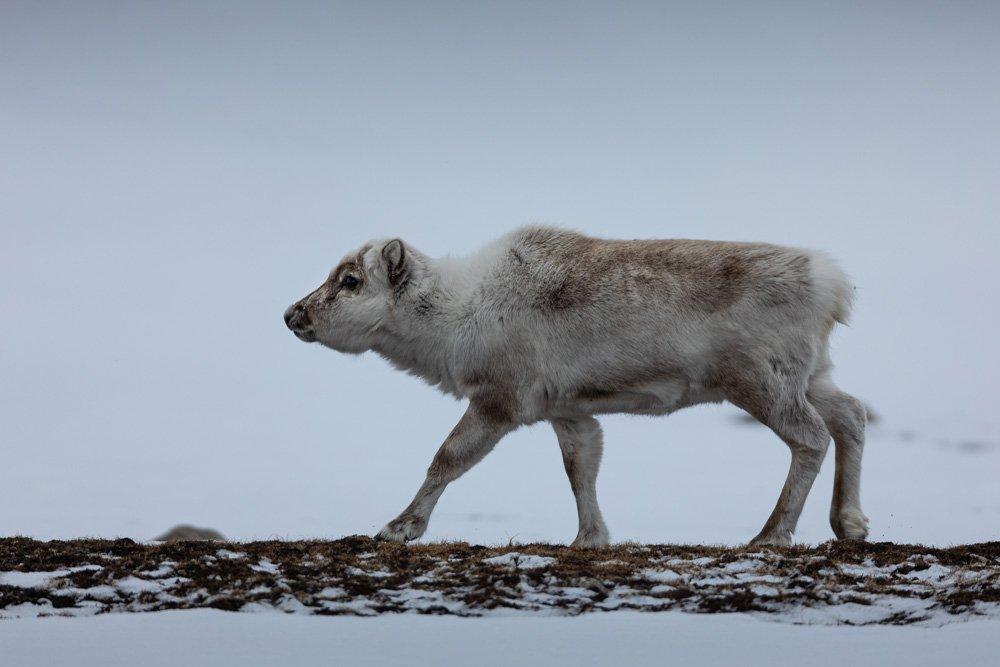 שפיצברגן - Wild Travel