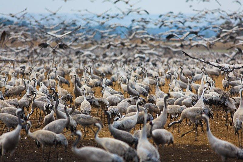 עשרות אלפי עגורים באגמון החולה - Wild Travel