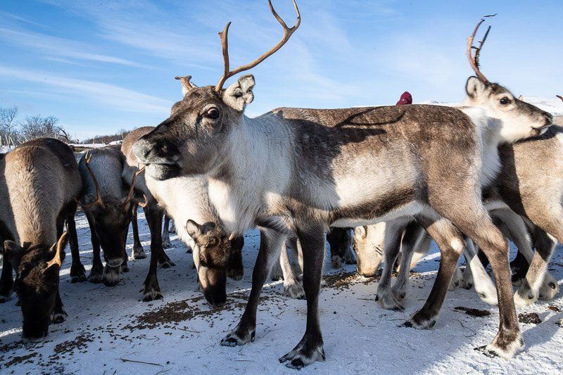 עדר איילי צפון בגבול פינלנד ונורבגיה בצפון לפלנד - Wild Travel