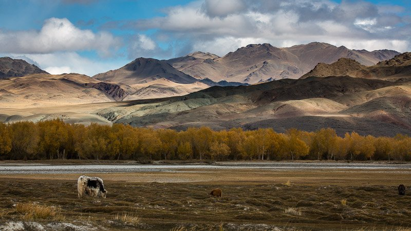 יאק על רקע ההרים במונגוליה - Wild Travel