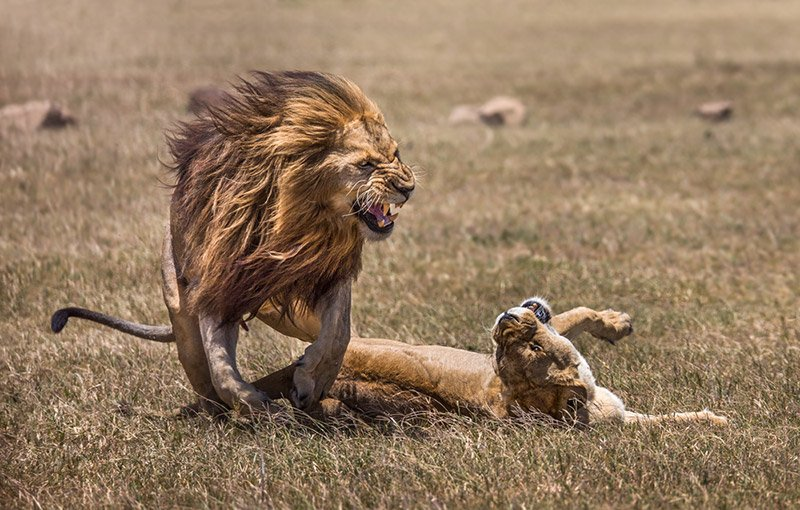 אריה זכר ולביאה בחיזור בסרנגטי, טנזניה - Wild Travel