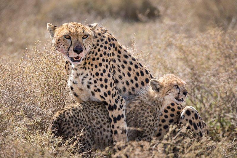 צ'יטות בנדוטו, עונת ההמלטות, טנזניה - Wild Travel