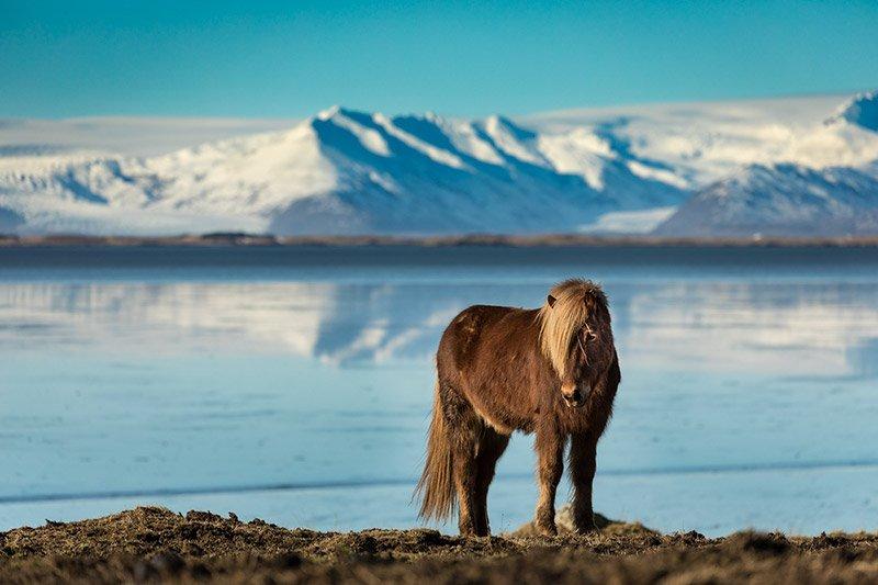 סוס איסלנדי על רקע ההרים המושלגים של החורף באיסלנד - Wild Travel
