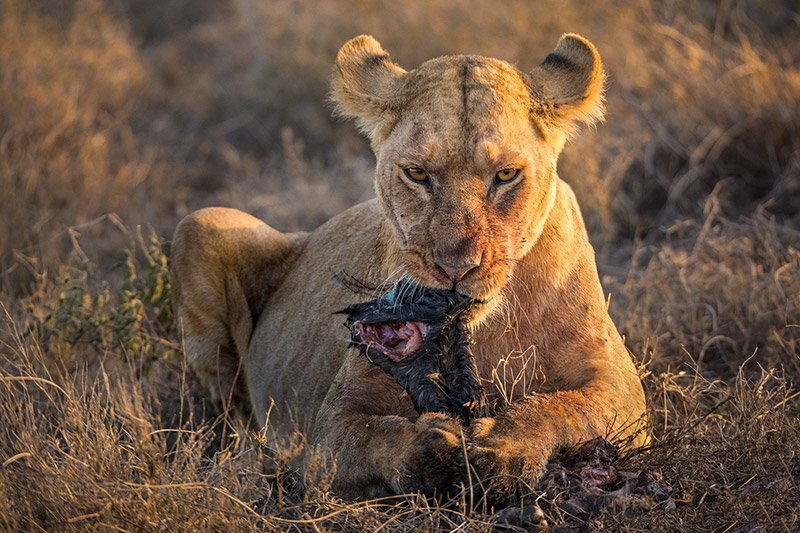 לביאה עם טרף, סרנגטי טנזניה - Wild Travel