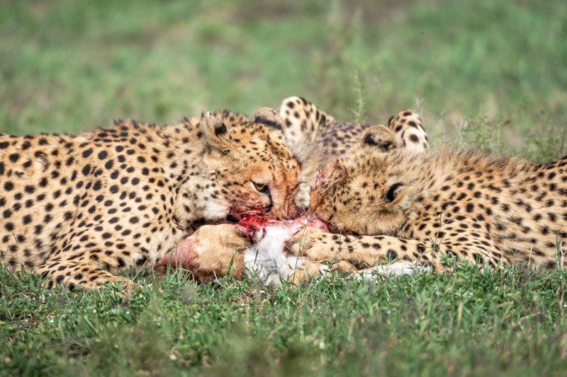 צ'יטות צדות טומפסון צעיר בעונת ההמלטות, אגם נדוטו טנזניה - Wild Travel