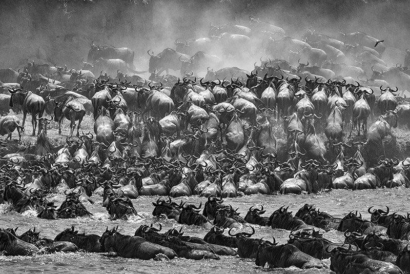 עדרי הנדידה הגדולה בסרנגטי, טנזניה - Wild Travel