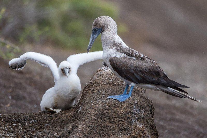 סולה כחולת רגל באי פרננדינה, איי גלפגוס - Wild Travel