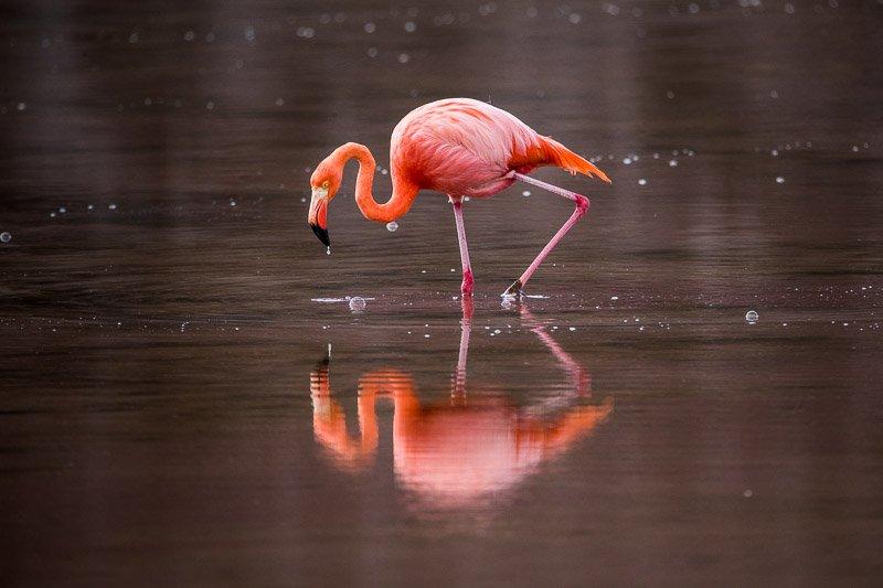 פלמינגו אמריקאי באי פלורניה בגלפגוס - Wild Travel