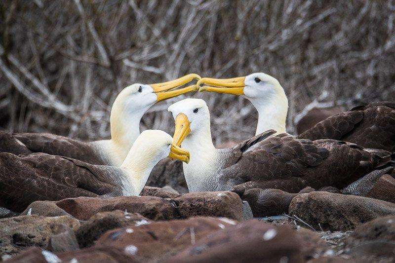 אלבטרוסים מקננים באי אספניאולה בגלפגוס - Wild Travel