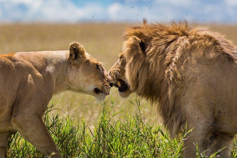 אריה ולביאה בחיזור באביב בטנזניה - Wild Travel