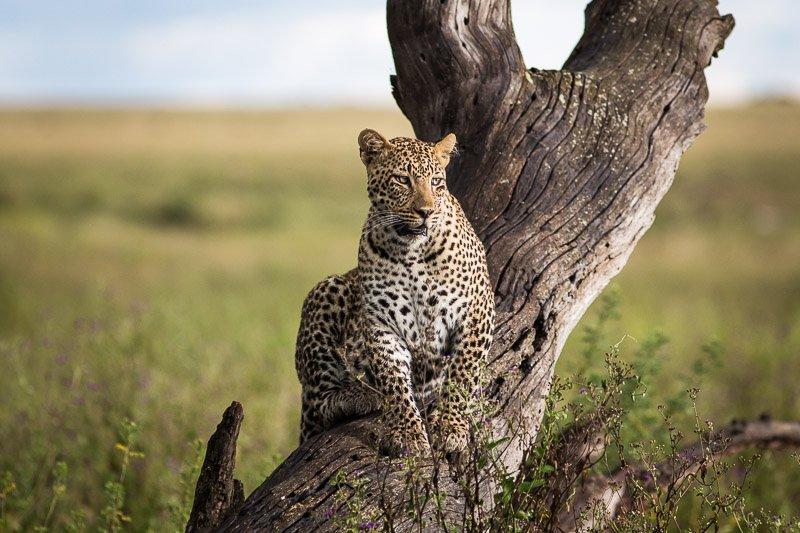 נמר חברבורות על עץ בסרנגטי, טנזניה - Wild Travel