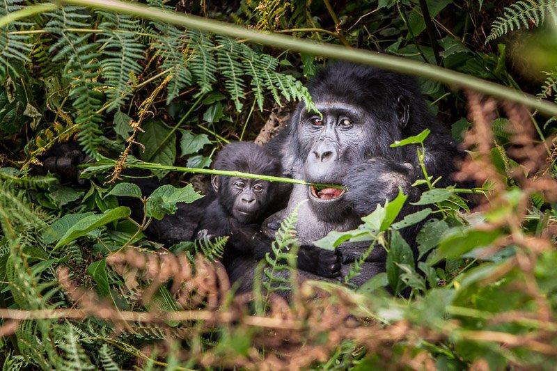 גורילה מניקה וגור צעיר בשמורת בווינדי בדרום אוגנדה - Wild Travel
