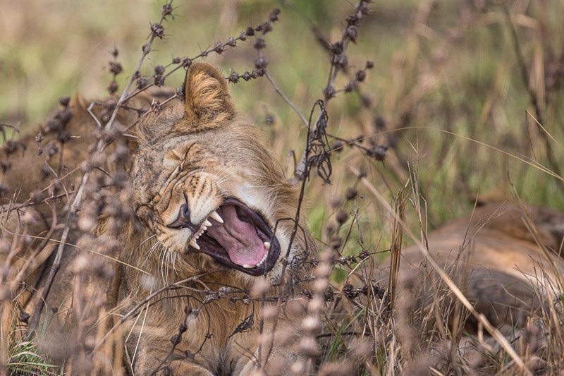 אריה צעיר בשמורת איששה מדרום לקווין אליזבת, אוגנדה - Wild Travel