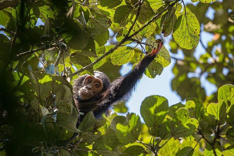 שימפנזה צעיר ביער בודונגו ליד שמורת מורצ'יסון, אוגנדה - Wild Travel