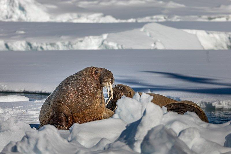 ניבתנים על ים הקרח, שפיצברגן - Wild Travel