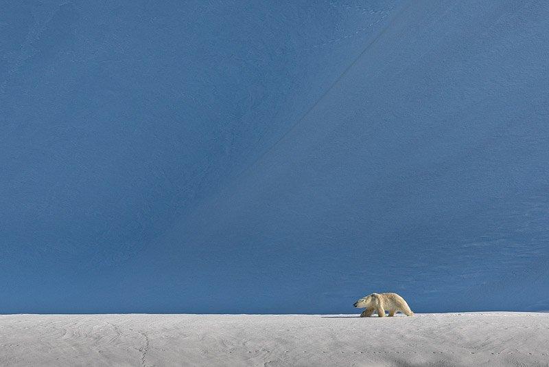 דב קוטב הולך בשממה הארקטית, שפיצברגן - Wild Travel