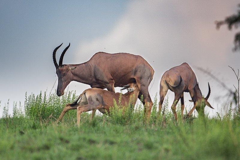קודו יונק בשמורת קווין אליזבט, אוגנדה - Wild Travel