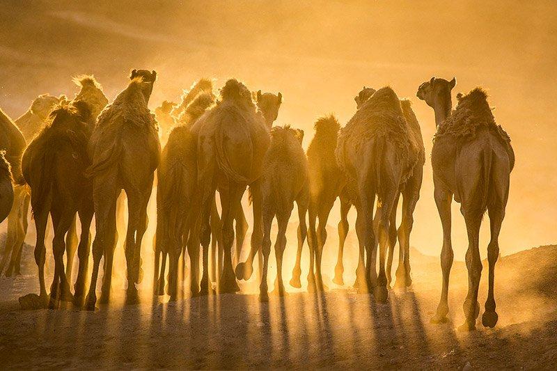 גמלים במדבר יהודה - Wild Travel