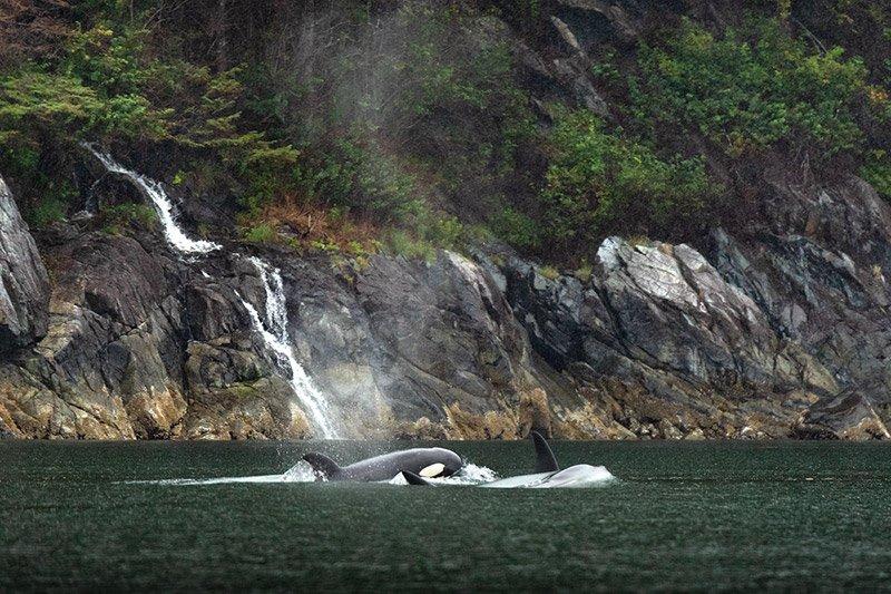 אורקה במיצר ליד האי ונקובר, קולומביה הבריטית, קנדה - Wild Travel