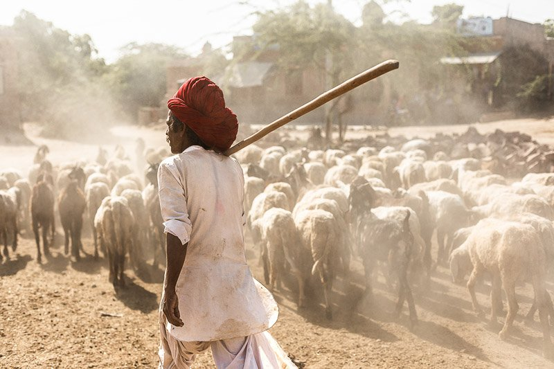 רועה צאן, רג'סטן הודו - Wild Travel