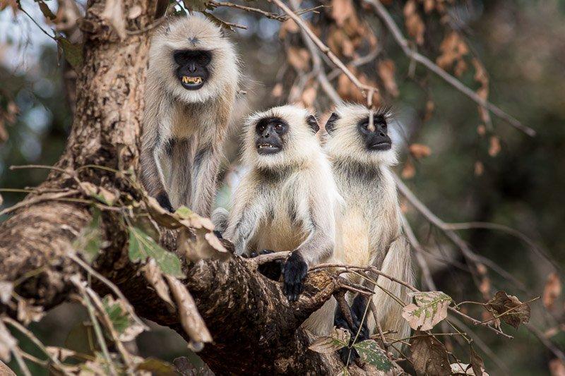 קופי לנגור, שמורת בנדהבגר, מדיה פרדש, הודו - Wild Travel