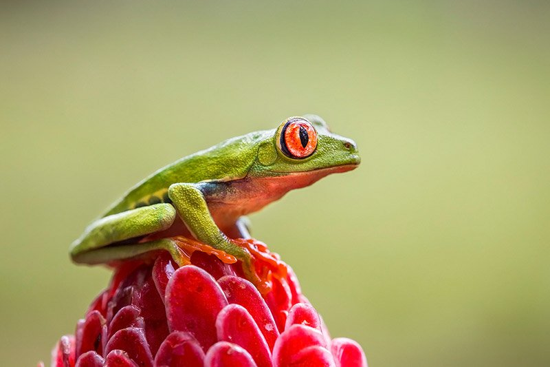 צפרדע מסוג אילנית אדומת עין, צולם במהלך טיול צילום טבע בקוסטה ריקה - Wild Travel