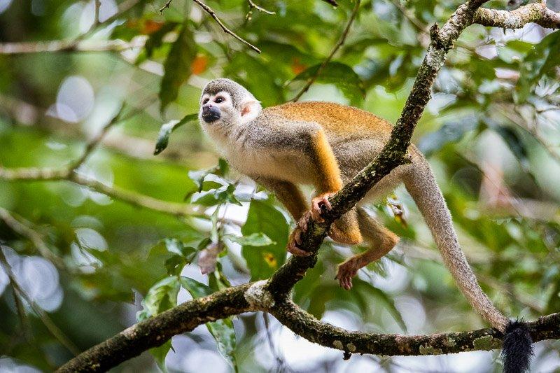 קוף סנאי ביער האמזונס, שמורת קויאבנו, אקוודור - Wild Travel