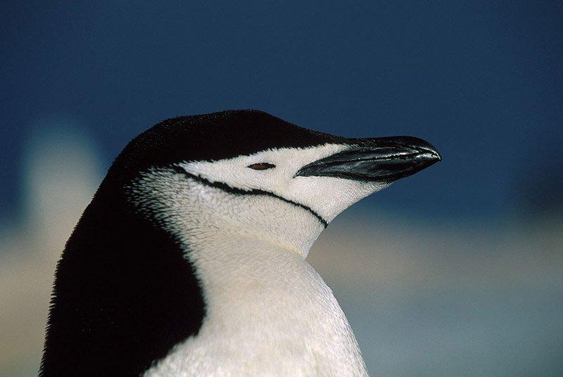 פינגווין באנטארקטיקה - Wild Travel