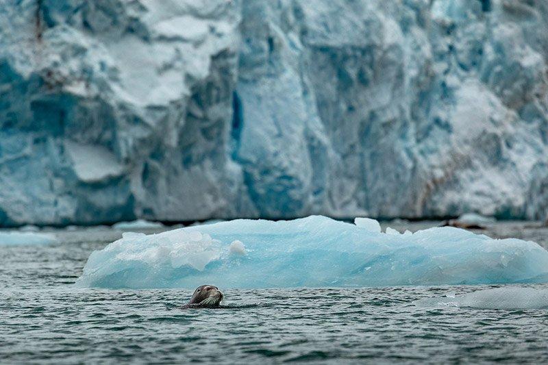 כלב ים, שפיצברגן - Wild Travel