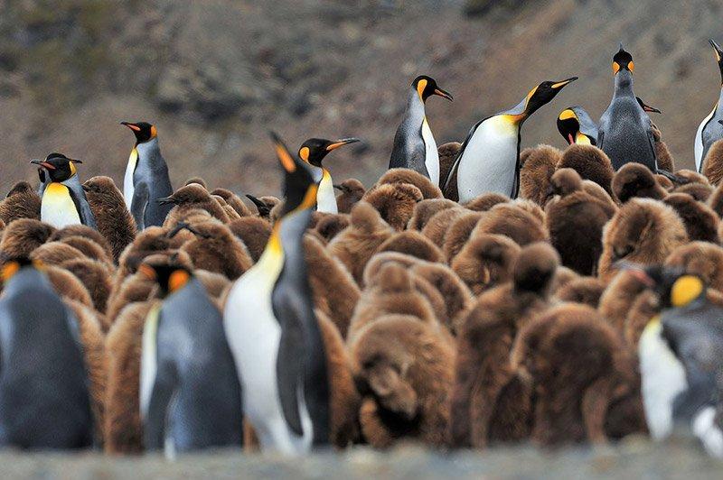 פינגווינין מלכותי באנטארקטיקה - Wild Travel