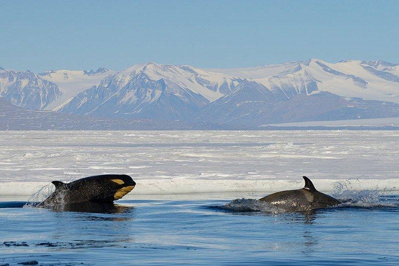לוויתן קטלן (אורקה) באנטארקטיקה - Wild Travel