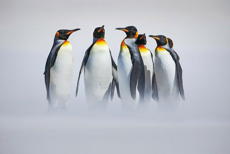 פינגווין מלכותי באנטארקטיקה - Wild Travel