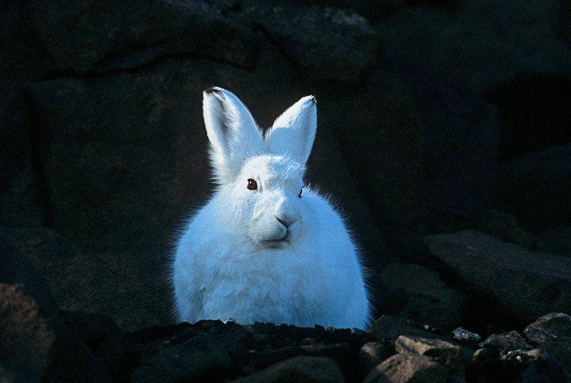 ארנבת ארקטית, גרינלנד - Wild Travel