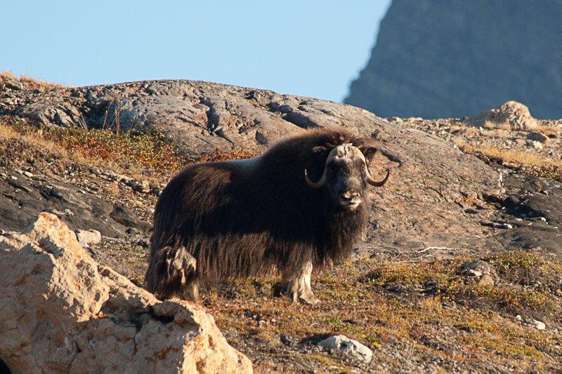 כבש מושק (הכבש הגדול בעולם), גרינלנד - Wild Travel