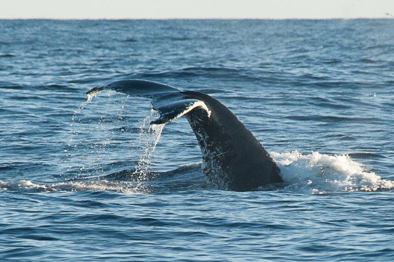 זנב של לוויתן גדול סנפיר, גרינלנד - Wild Travel