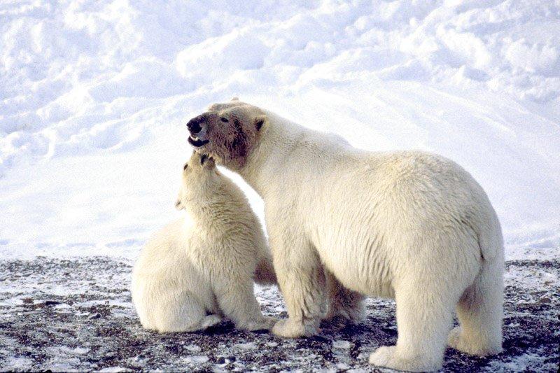 דובת קוטב וגור צעיר לאחר ארוחה בים הקרח הצפוני בצ'וקוטקה - Wild Travel