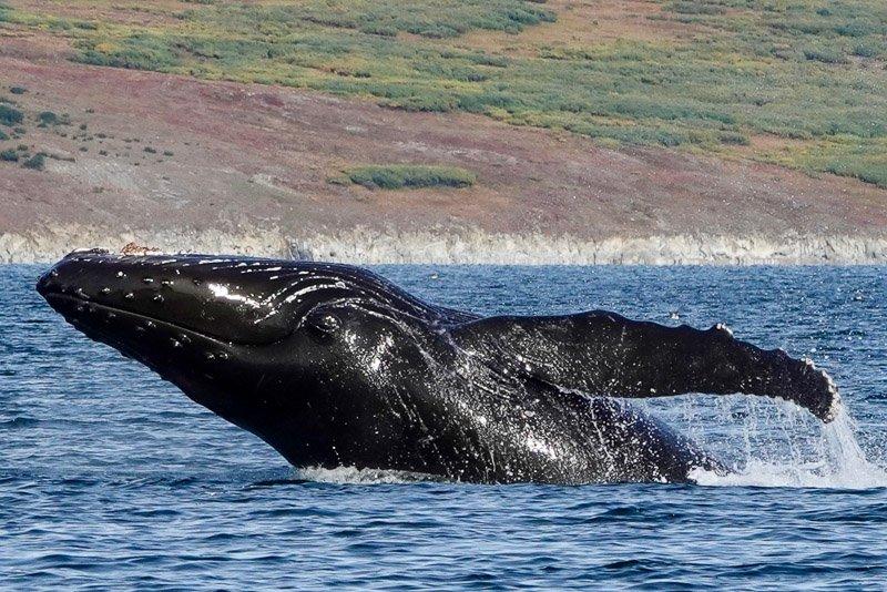 לוויתן גדול סנפיר מזנק מהמים ליד האי Kolyuchin שבצ'וקוטקה - Wild Travel