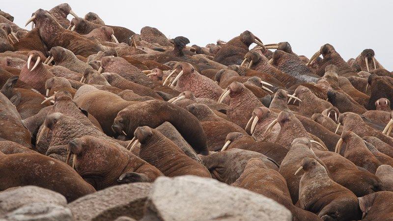 מושבת הניבתנים העצומה ליד הכפר Vankarem במחוז צ'וקוטקה - Wild travel