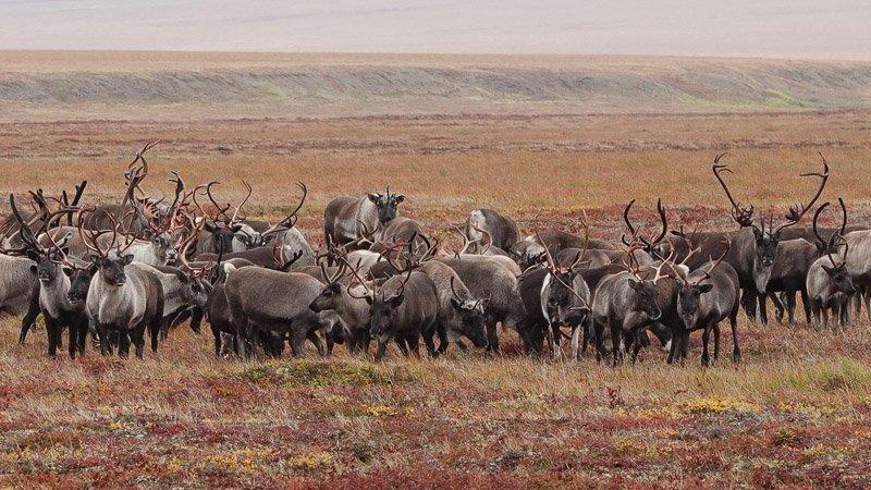 איילי צפון בדרך לים הקרח הצפווני במחוז צ'וקוטקה - Wild Travel
