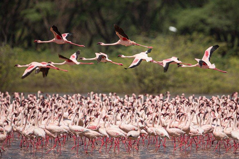 פלמינגו בתעופה באגם נאיבשה, קניה - Wild Travel