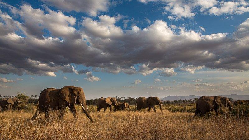 עדר פילים בשמורת סמבורו, קניה - Wild Travel